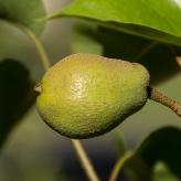 Ázijská hruška 'EARLY SHU', podp. semenáč