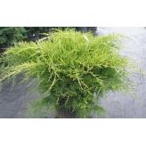 Borievka, Juniperus Chinensis ´Gold star´