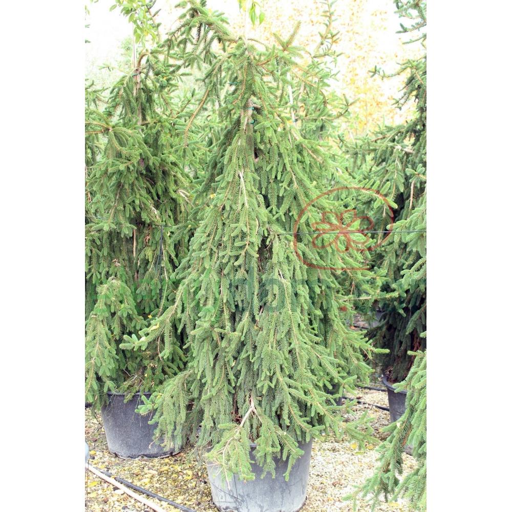 Smrek Obyčajný Inversa Pendula Picea Abies Inversa Pendula