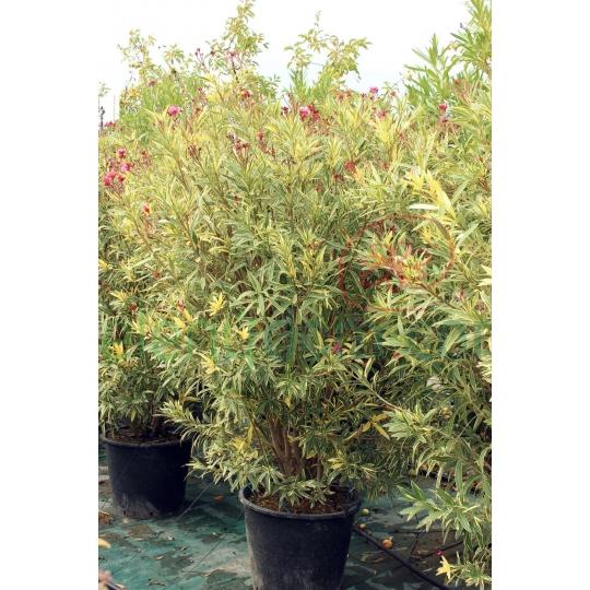 Oleander, Nerium oleander ´Variegata´ PANÁŠOVANÝ, črepník 3,5l