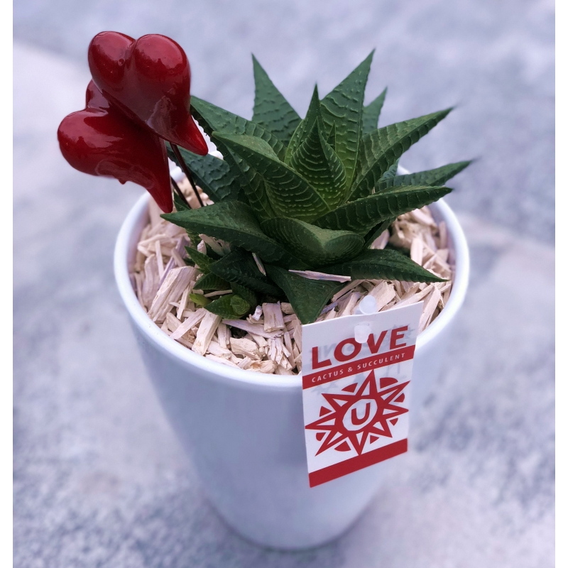 Haworthia Limifolia v keramike