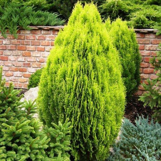 """Tuja Orientalis """"Aurea Nana"""" (60cm)"""