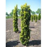 Tis štíhly Baccata Aurea (Taxus Baccata Aurea Fastigiata)