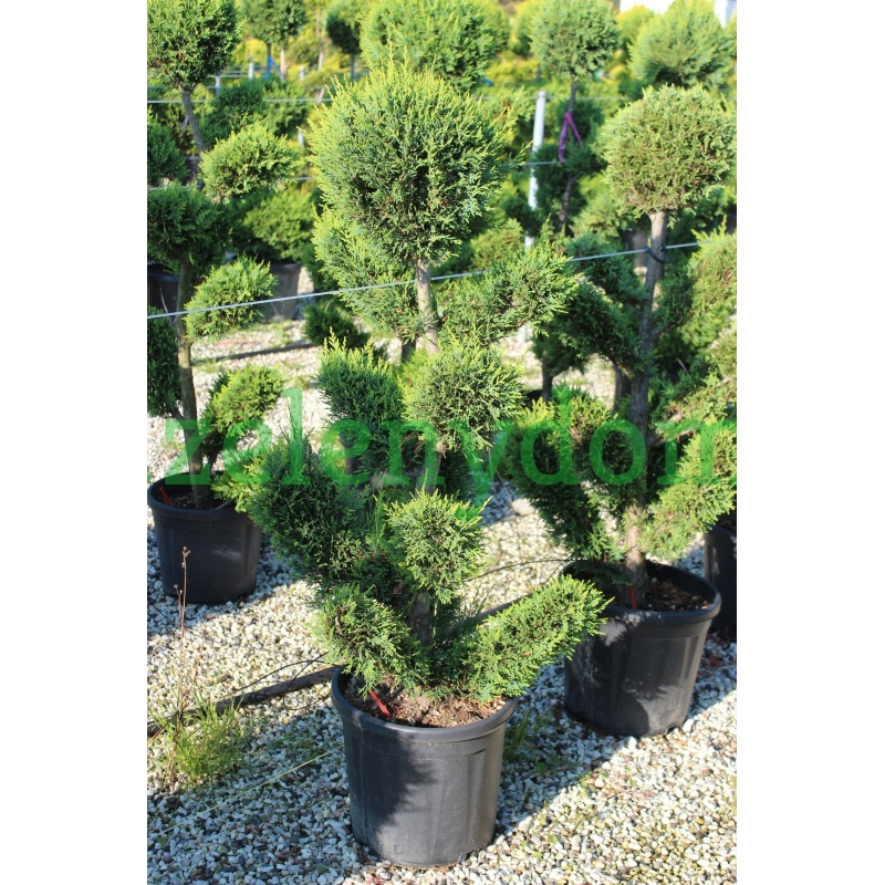 Cyprusovec leylandský, Cupressocyparis leylandii ´Aurea´, kont. 25l , bonsai