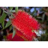 Callistemon Leavis (tyčinkovec austrálsky)