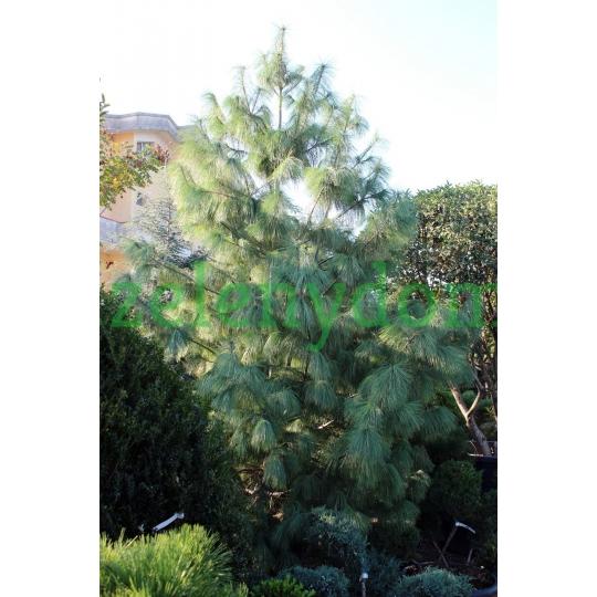 Borovica Himalájska, Pinus strobus ´Wallichiana´, kont. 375l