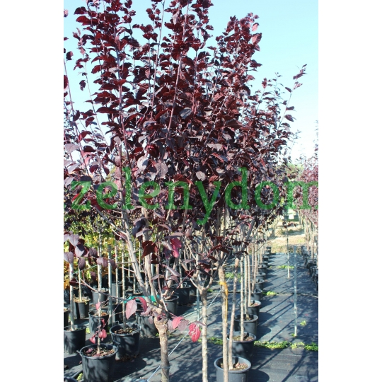 Slivka čerešňoplodá, Prunus Cerasifera´Pissardii Nigra´, 1,7-1,9m, kont. 25l
