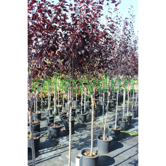 Slivka čerešňoplodá ´Pissardii Nigra´, Prunus Cerasifera´Pissardii Nigra´, 1,3-1,5m, kont. 25l