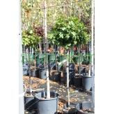 Dub močiarny ´Zelený trpaslík´, Quercus Palustris ´Green Dwarf´, kont.10l