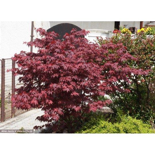 Japonsky javor ´Fireglow´, Acer palmatum ´Fireglow´, kot.: 10l