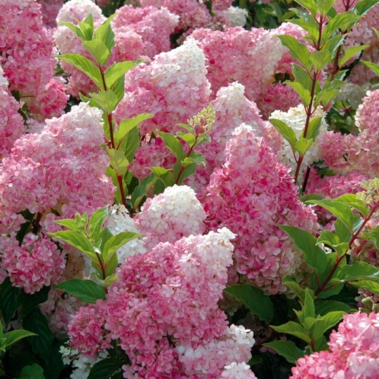 Hortenzia metlinatá ´Vanille Fraise´ Hydrangea paniculata ´Vanille Fraise´, kont.10l