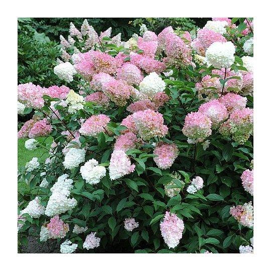 Hortenzia metlinatá ´Vanille Fraise´ Hydrangea paniculata ´Vanille Fraise´, kont.3l