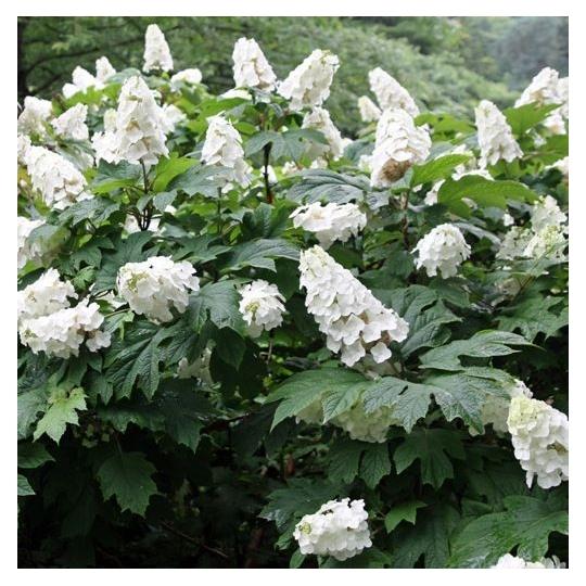 Hortenzia dubolistá ´Snow Queen´, Hydrangea Quercifolia ´Snow Queen´, kont. 10l