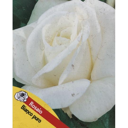 Ruža na kmienku, BIELA, kvetináč 10l