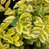 """Vtáči zob vajcolistý zlatý - Ligustrum Ovalifolium """"Aurea"""""""