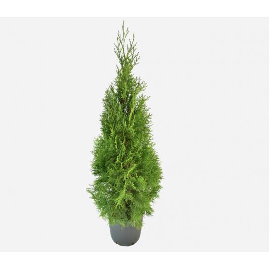Tuja Smaragdová , Thuja occidentalis 'SMARAGD', koreňový bal