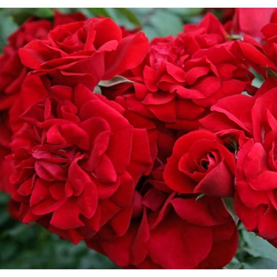 AMADEUS, ruža popínavá KORDES, kont.2l