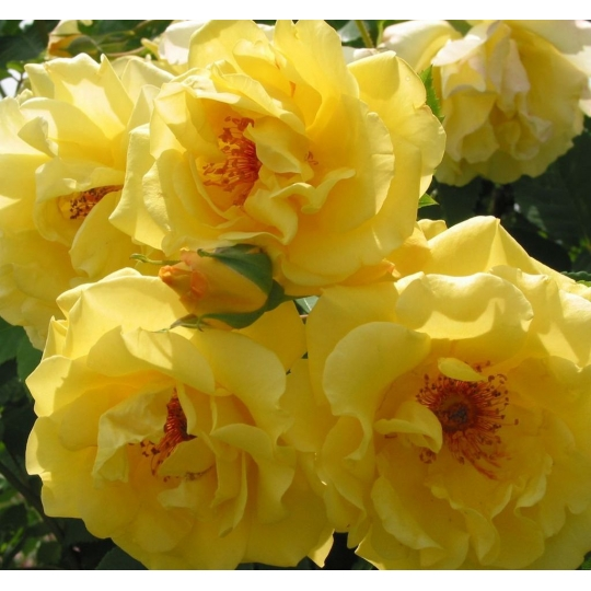 Ruža popínavá 'GOLDEN GATE', Kordes, kont. 2l
