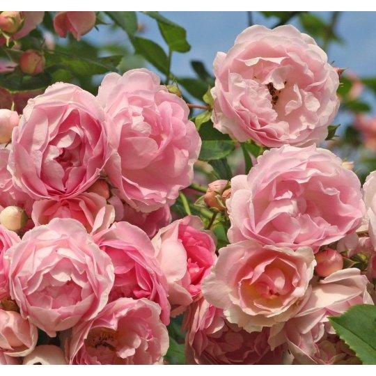 Ruža popínavá 'JASMINA', Kordes, kont.2l