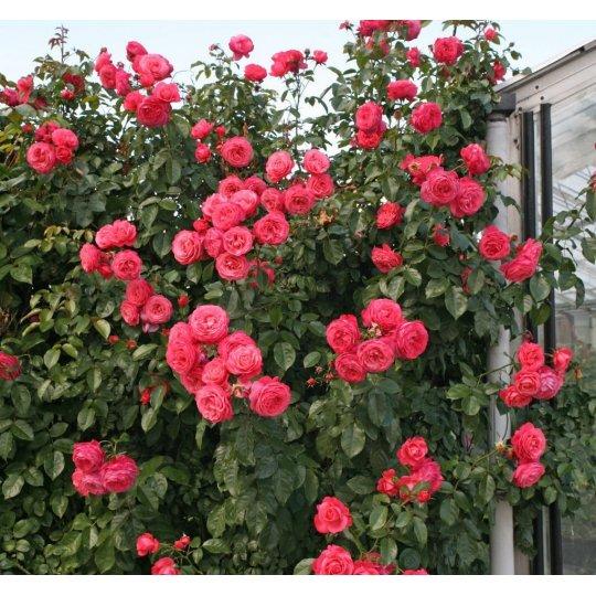 ROSANNA, ruža popínavá KORDES, kont. 2l