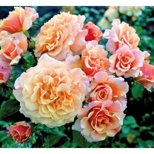 CARAMELLA, ruža kríčková KORDES, kont. 2l