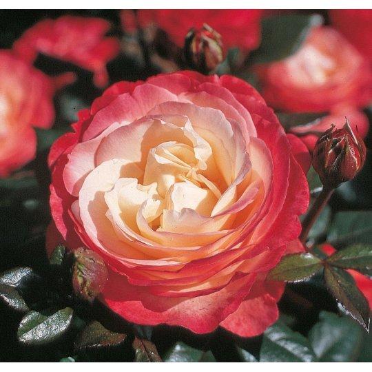 NOSTALGIE, ruža veľkokvetá KORDES, kont. 2l