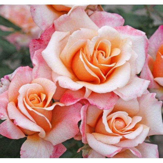 OH HAPPY DAY, ruža veľkokvetá, KORDES, kont. 2l
