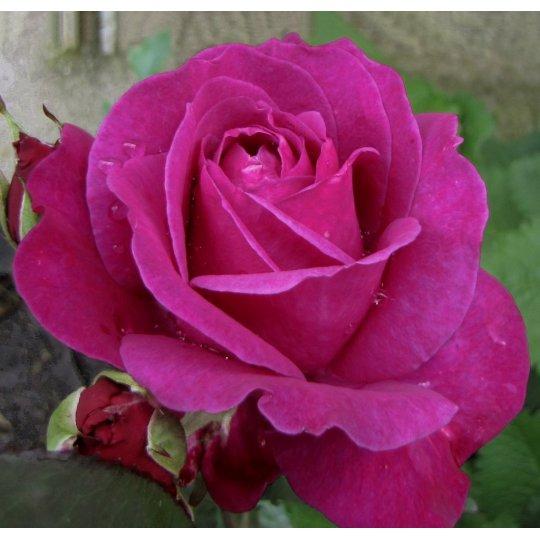 PAROLE, ruža veľkokvetá KORDES, kont. 2l