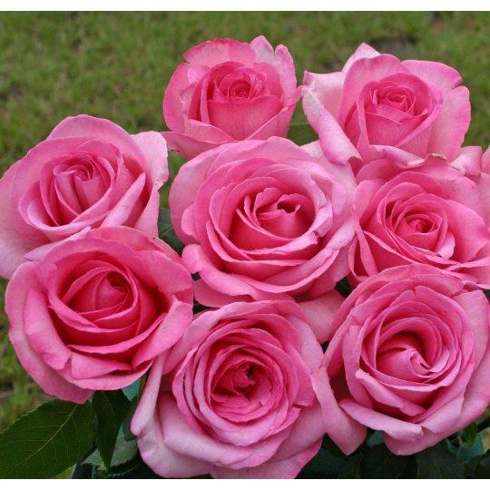 SWEET PAROLE, ruža veľkokvetá,  KORDES, kont. 2l