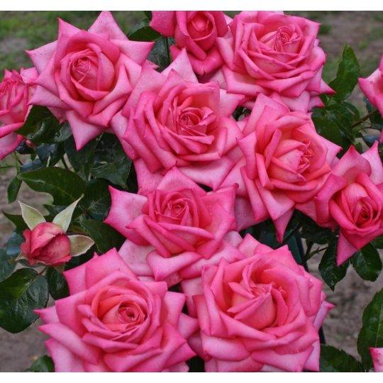 WEDDING BELLS, ruža veľkokvetá KORDES, kont. 2l