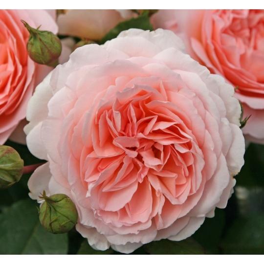 Märchenzauber, ruža mnohokvetá KORDES, kont. 2l