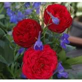 OUT OF ROSENHEIM, ruža mnohokvetá, KORDES, kont. 2l