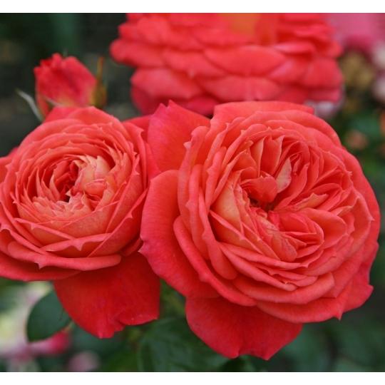 QUEEN OF HEARTS, ruža mnohokvetá KORDES, kont. 2l