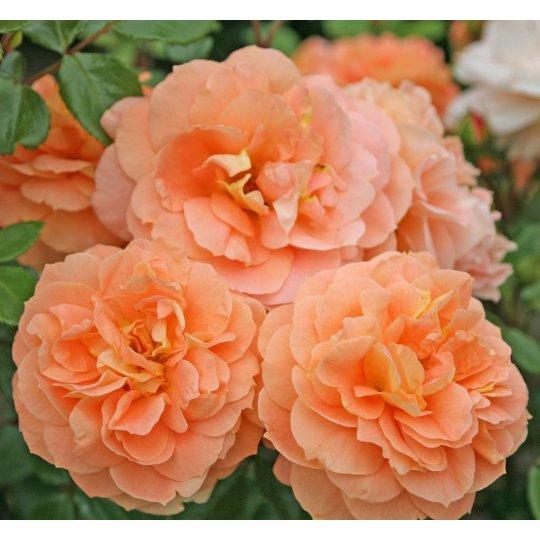 Schöne vom See ® , ruža mnohokvetá KORDES, kont. 2l