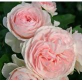 LARISSA, ruža mnohokvetá KORDES, kont. 2l