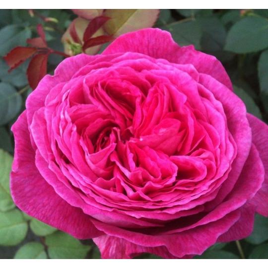FREIFRAU CAROLINE, ruža mnohokvetá PARFUMA KORDES, kont. 2l