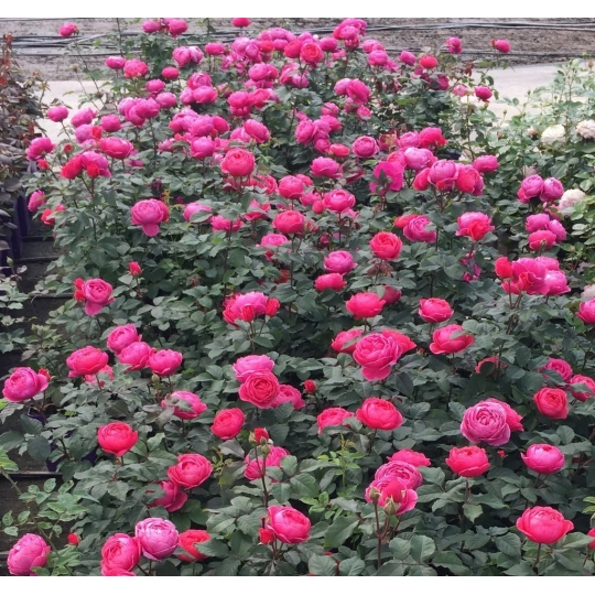 GARTENPRINZESSIN MARIE- JOSÉ, ruža mnohokvetá PARFUMA, kont. 2l