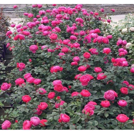 GARTENPRINZESSIN MARIE- JOSÉ, ruža mnohokvetá PARFUMA  KORDES, kont. 2l