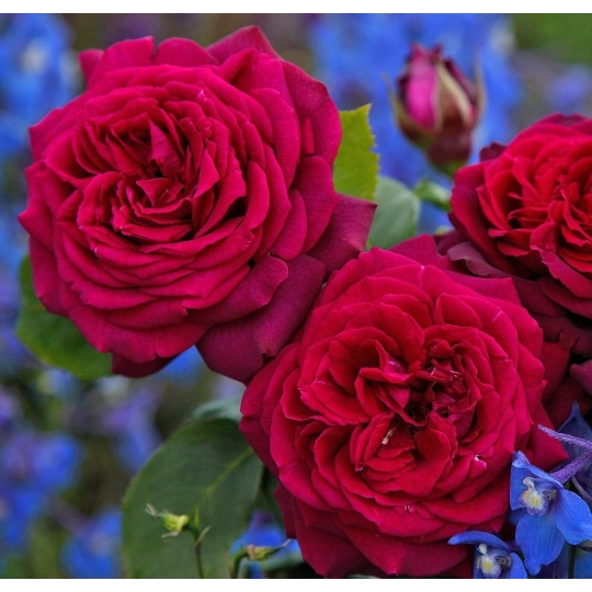 Gräfin Diana, ruža veľkokvetá PARFUMA KORDES, kont. 2l