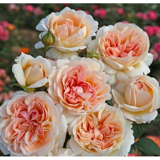 GROßHERZOGIN LUISE, ruža veľkokvetá PARFUMA KORDES, kont. 2l