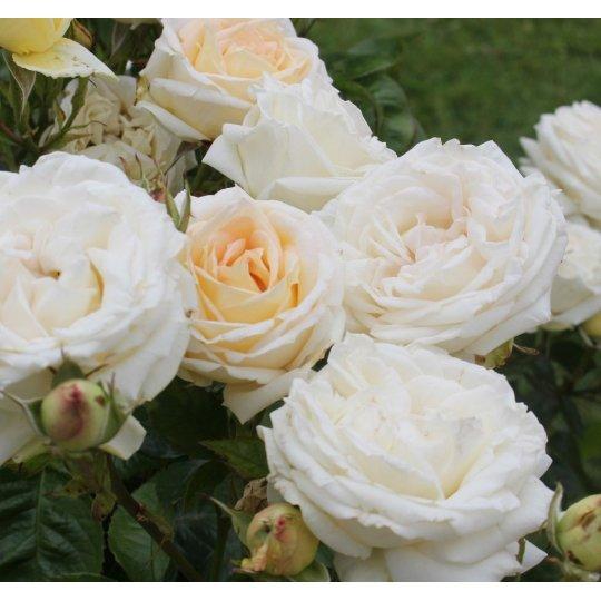 MADAME ANISETTE, ruža veľkokvetá PARFUMA KORDES, kont. 2l