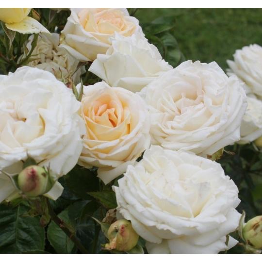 MADAME ANISETTE, ruža veľkokvetá, PARFUMA KORDES, kont. 2l