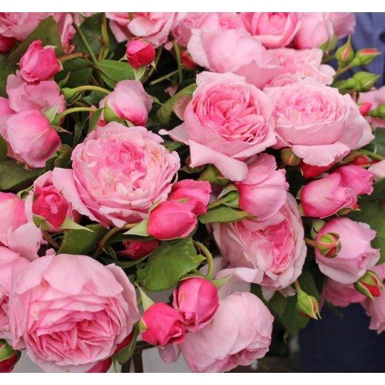 KISS ME KATE, ruža popínavá PARFUMA KORDES, kont. 2l