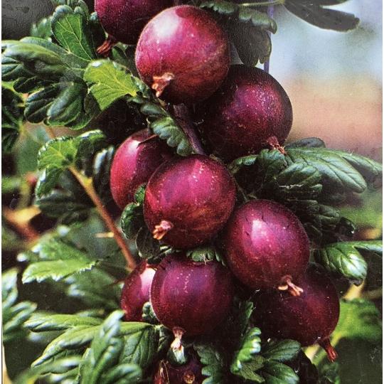 Červený egreš 'HINNONMAKI ROT', 40-60cm,  stromčekový