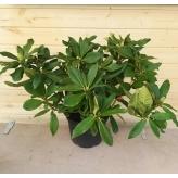 Rododendrón hybridný  'PINK PURPLE DREAM', 40-60cm, kont. 4l,