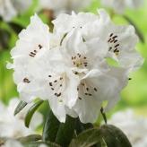 Rododendrón biely, kont. 4l