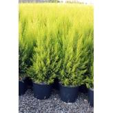 Cyprus veľkoplodý, Cupressus macrocarpa ´Goldcrest´, kont.3l