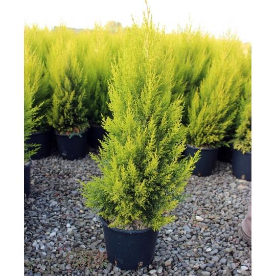 Cypressus macrocarpa 'Goldcrest', Cyprus veľkoplodý ,kont.3l