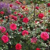 Bellevue-ruža veľkokvetá,čajohybrid