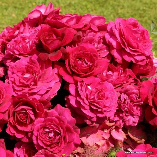 BELLEVUE ruža veľkokvetá, KORDES, kont. 2l